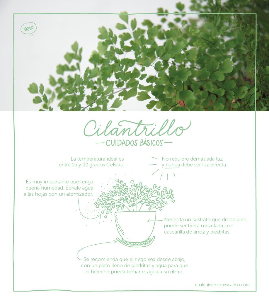 Cuidados básicos cilantrillos