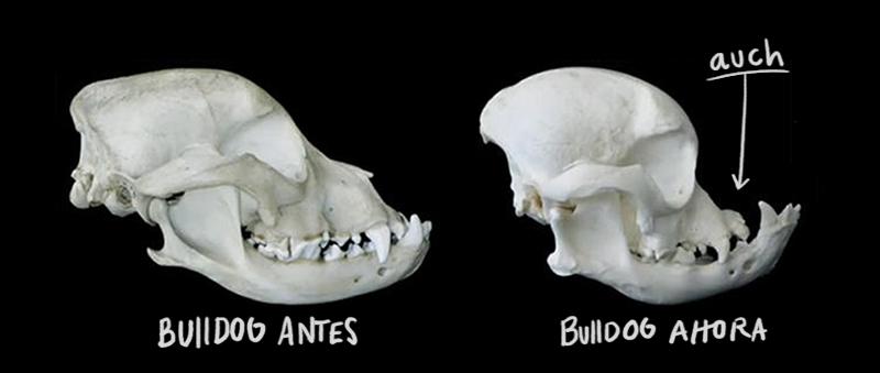 Bulldog antes y después