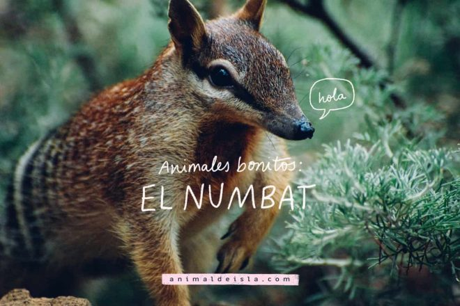 Animales bonitos: El numbat